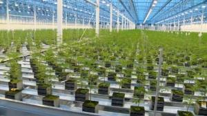 An interior shot of Aurora Cannabis near the Edmonton International Airport.