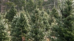Funding for N.S. Christmas tree growers