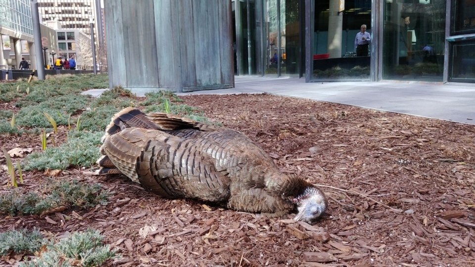 A young turkey was killed on Tuesday when an off-leash dog chased her and she crashed into a window. (Photo: Safe Wings Ottawa)