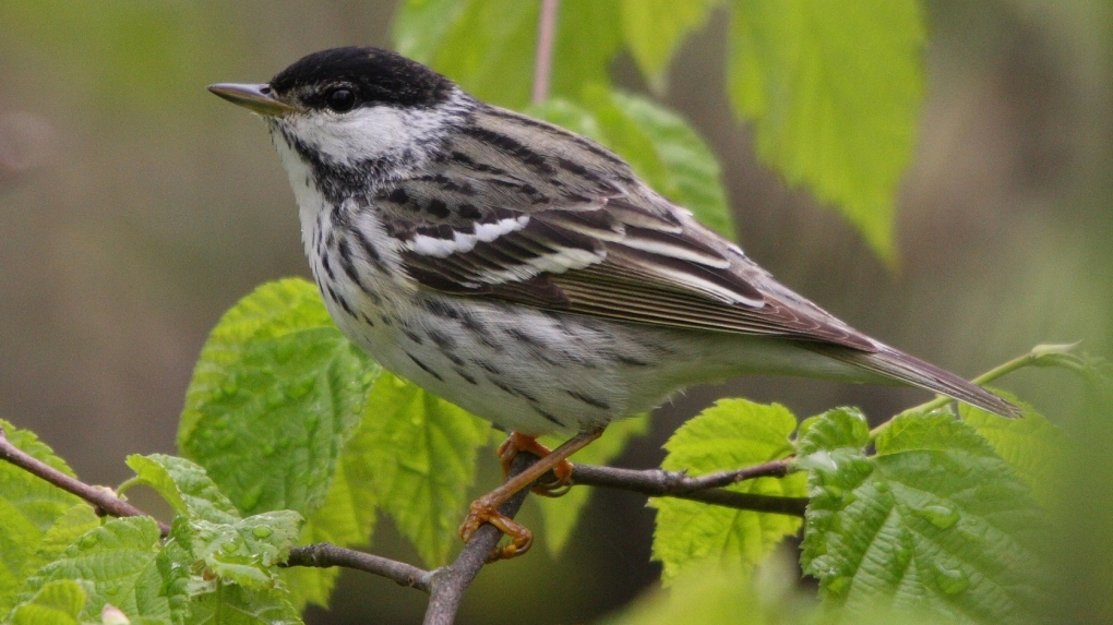20,000 kilometres over the ocean: Tracking a songbird's remarkable journey