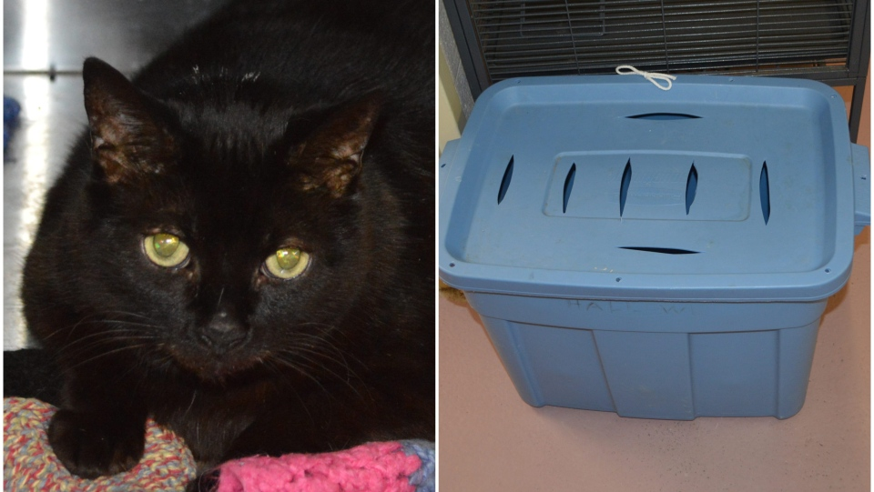 A black cat and a blue plastic tote