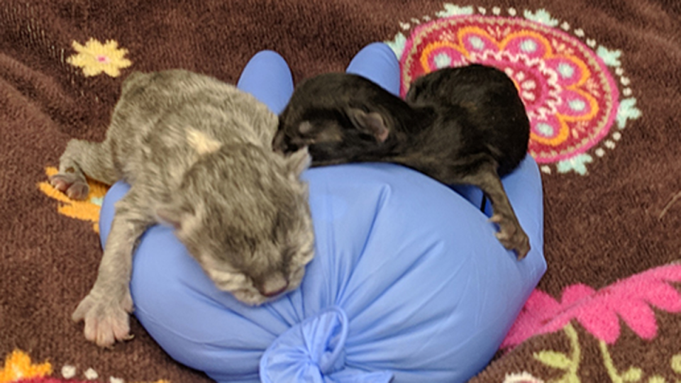 Two kittens that were found abandoned in a Vancouver dumpster have died. (BC SPCA)