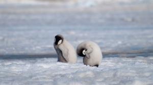 This 2010 photo provided by the British Antarctic Survey shows emperor penguin chicks at Antarctica's Halley Bay. (Peter Fretwell/British Antarctic Survey via AP)