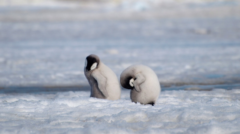 This 2010 photo provided by the British Antarctic Survey shows emperor penguin chicks at Antarctica's Halley Bay. (Peter Fretwell/British Antarctic Survey via AP)