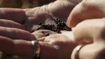 Canola acres down over trade concerns