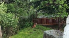 A cougar is spotted in the backyard of a Metchosin home Tues., April 23. West Shore RCMP are alerting the public after a string of cougar sightings in recent days. (Facebook)