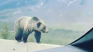 Caught on cam: Grizzly balances along highway