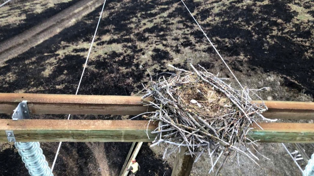 BC Hydro technicians working near Chase, B.C. in April helped move a bald eagle's nest containing an egg from a damaged power pole, carefully transferring to another, more secure transmission tower. (Twitter / @bchydro) 