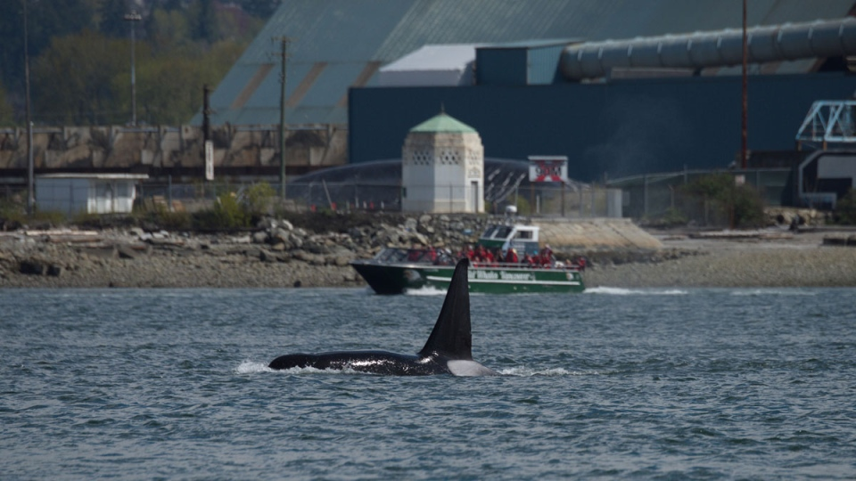 A transient orca is seen in an image provided by Ocean Wise.