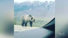 Grizzly balancing act on highway barrier