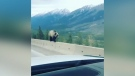 Grizzly bear captured on camera walking on cement highway barrier.