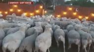 Video shows U.S. family's hilarious sheep encounte
