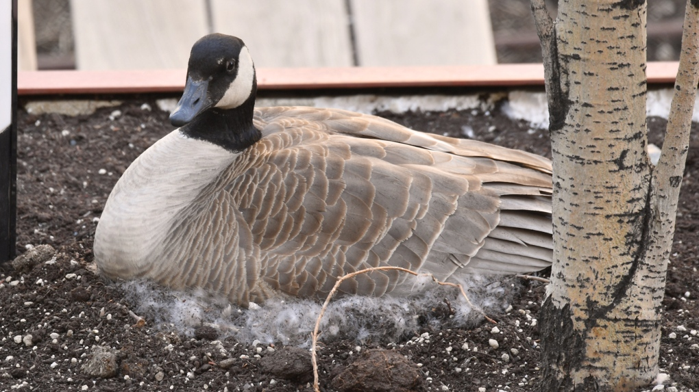 Expectant mother goose takes over hospital rooftop