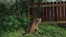 Five cougar complaints on West Shore