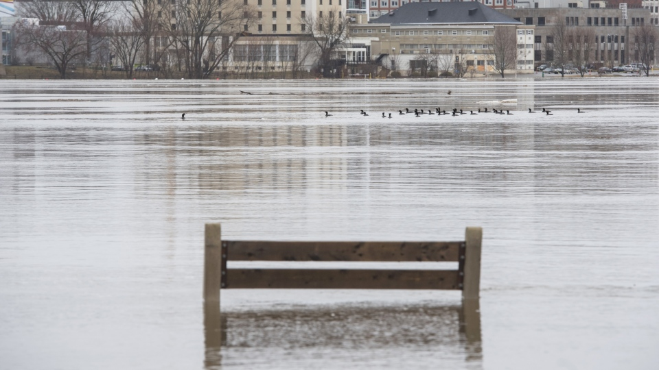 A group of cormorant birds float down the swollen St. John River in Fredericton, N.B. on Saturday, April 20, 2019. THE CANADIAN PRESS/Stephen MacGillivray