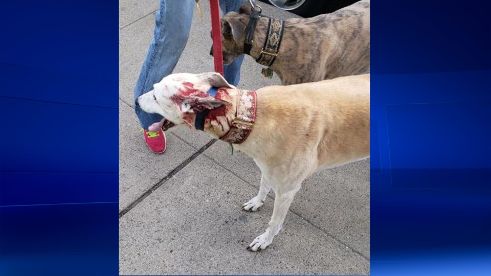 Joe McParland's dog Vicky after being attacked by another dog in downtown Windsor on Friday April 27, 2019. (Photo via Facebook/www.facebook.com/joe.mcparland)