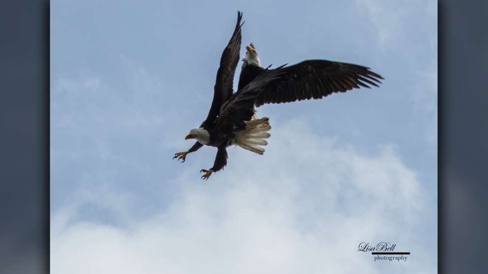 Two eagles perform a mid-air mating ritual moments before landing in Vancouver Island resident Lisa Bell's lap on April 26, 2019. (Lisa Bell Photography)