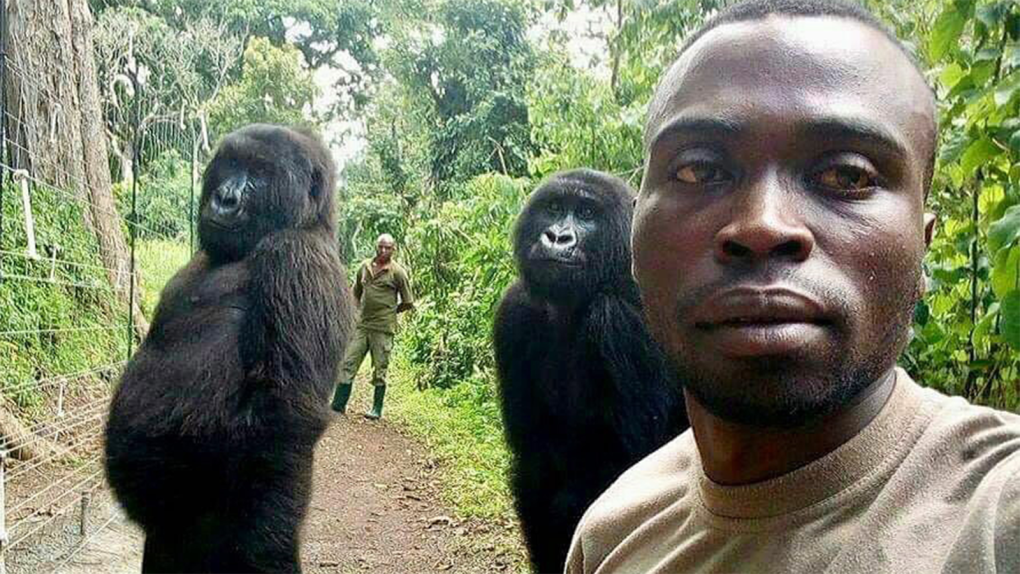 Internet goes ape for double-gorilla selfie