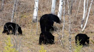 These bears were preoccupied with whatever grub they were finding out in Pinawa Bay. Photo by Cathy Gregg.