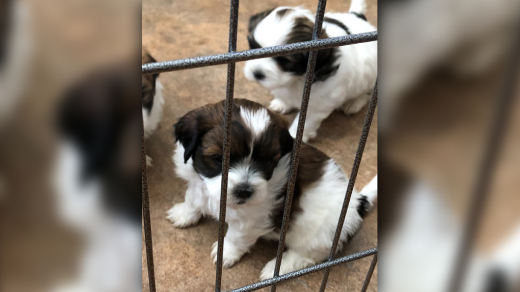 Litter of tiny shih tzu puppies stolen, put up for sale
