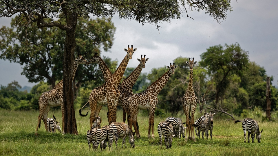 In this March 20, 2018, file photo, giraffes and zebras congregate under the shade of a tree in the afternoon in Mikumi National Park, Tanzania. (AP Photo/Ben Curtis, File)
