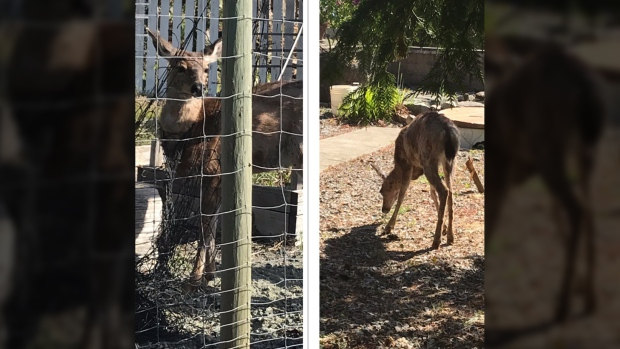 deer vcaught head