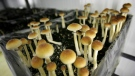 FILE - In this Aug. 3, 2007, file photo, psilocybin mushrooms are seen in a grow room at the Procare farm in Hazerswoude, central Netherlands. (AP Photo/Peter Dejong, File)