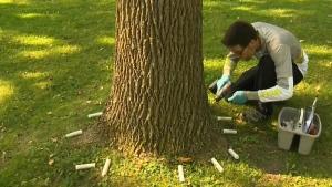 CTV Montreal: Saving ash trees