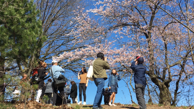 People take photos by a cherry blossom tree at Toronto's High Park, May 8, 2019. (CTVNews.ca)