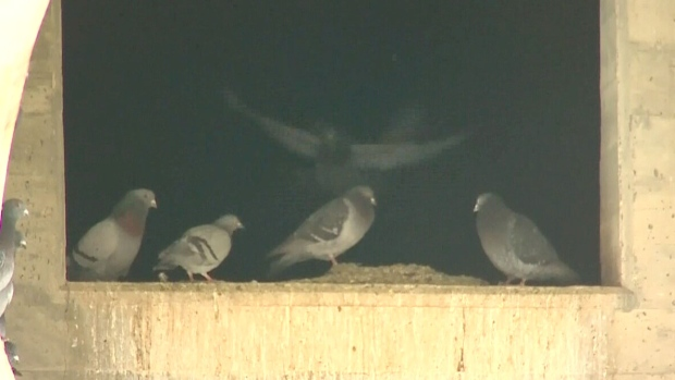 Concern over fate of pigeons