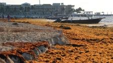 mexico seaweed