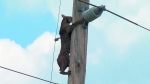 Wild bobcat perched on power pole coaxed down