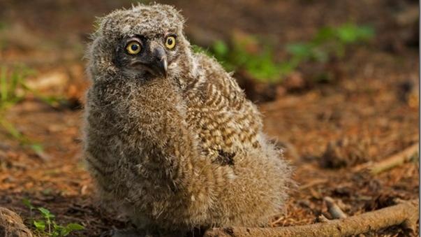 owlet saanich
