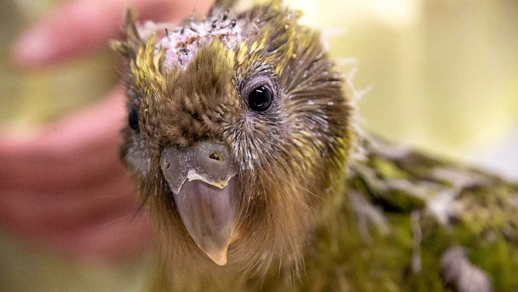 Vets perform world-first brain surgery on endangered kakapo parrot
