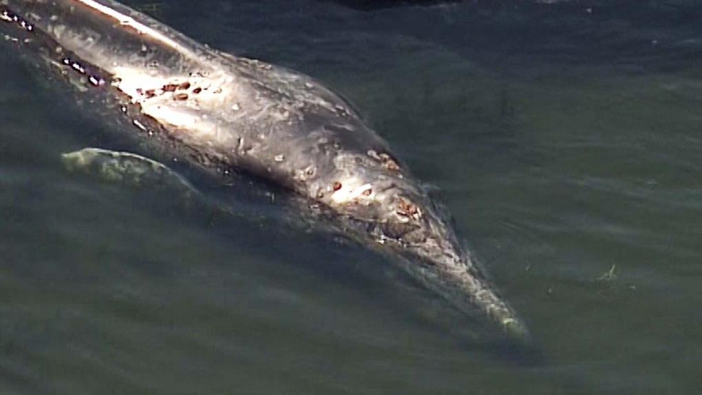 Mother and calf grey whales free after becoming stranded near Tsawwassen