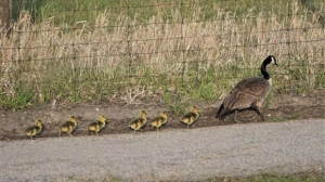 A goose and her goslings are seen in this photo out for a stroll. (Source: Heather Brown)