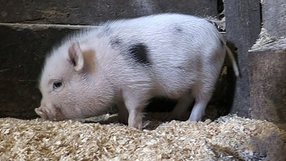 A baby mini-pig dubbed 'Timbit' was found wandering near a Tim Hortons in Collingwood, Ont.