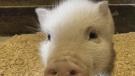 piggy found