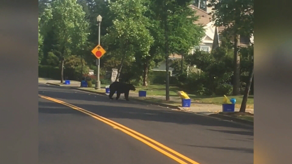 Metro Vancouver residents are being asked to not put our their trash early so bears can't get into the garbage.
