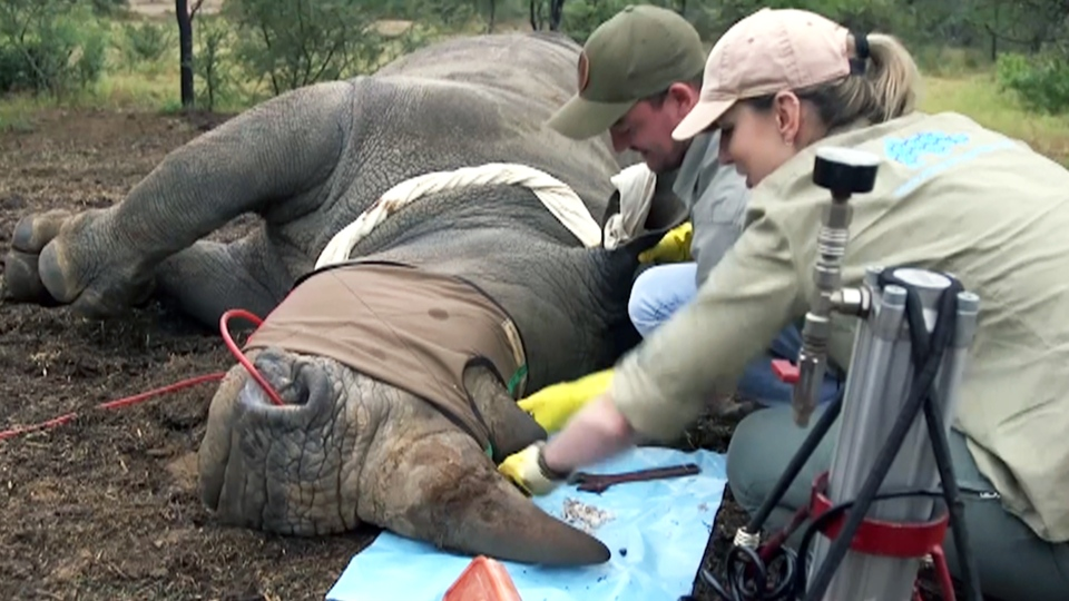 Dr. Lorinda Hern, who oversees the Rhino Rescue Project, begins an infusion on a rhino's horn at a private wildlife reserve in South Africa's Limpopo province.