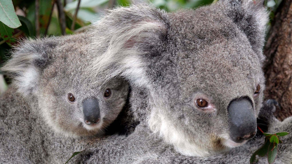 Koalas 'functionally extinct' in Australia, according to conservation group