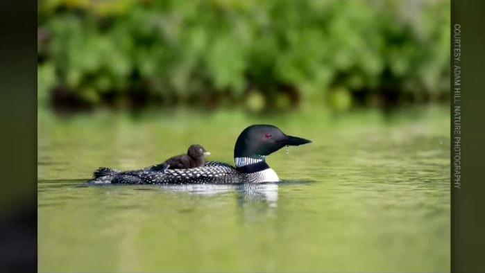 Adam Hill captured this picture of a day-old loon chick riding on the back of one of its parents on a Cape Breton lake.