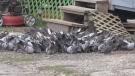 Kirkland Lake's pigeon problem (Lydia Chubak/CTV Northern Ontario)