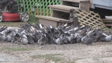Kirkland Lake's pigeon problem (Lydia Chubak/CTV Northern Ontario)