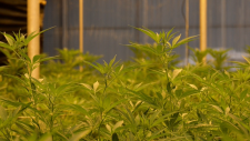 Craft growers upset with legal weed rules