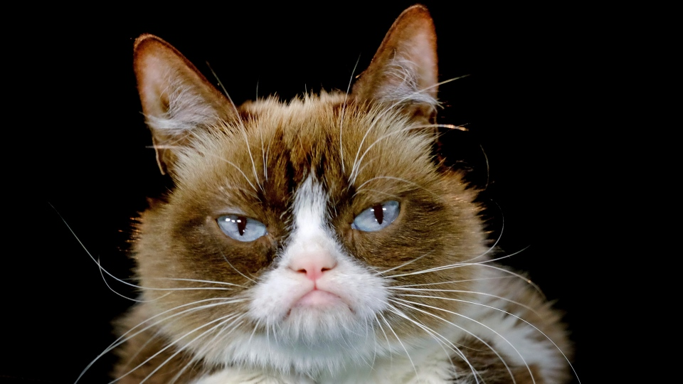 This Dec. 1, 2015 file photo shows Grumpy Cat posing for a photo in Los Angeles. (AP Photo/Richard Vogel, File)