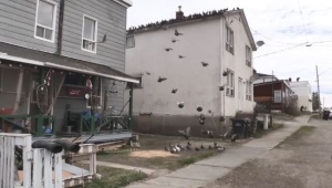 The number of pigeons in some areas of Kirkland reach 500-600 causing a nuisance for residents. (Lydia Chubak/CTV Northern Ontario)