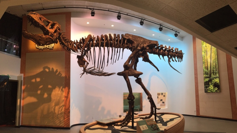 The world's biggest T-rex fossil ever discovered, named Scotty, now calls the Royal Saskatchewan Museum home.