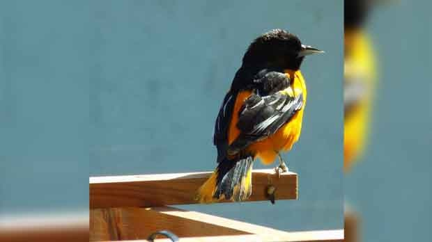 A Baltimore Oriole in my backyard. Photo by Myrna Nichol.