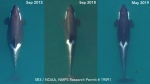 The first snapshot, from September 2015, shows a robust and well-fed J17, but the next two stills depict a rapid loss of body fat. (NOAA)